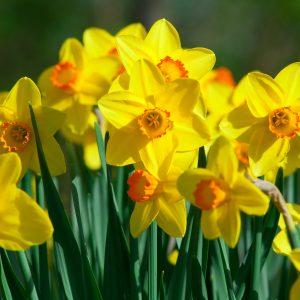 Narciso semina ad aprile