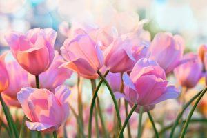 Tulipano semina ad aprile