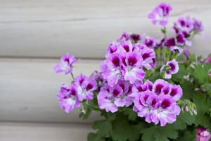 Geranio semina aprile