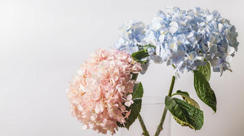 Ha Fiori Bianchi E Rosa.Impara A Curare Le Ortensie E A Cambiar Loro Colore Fito