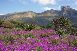 View of Kirstenbosch Botanical Gardens with flowers blooming
