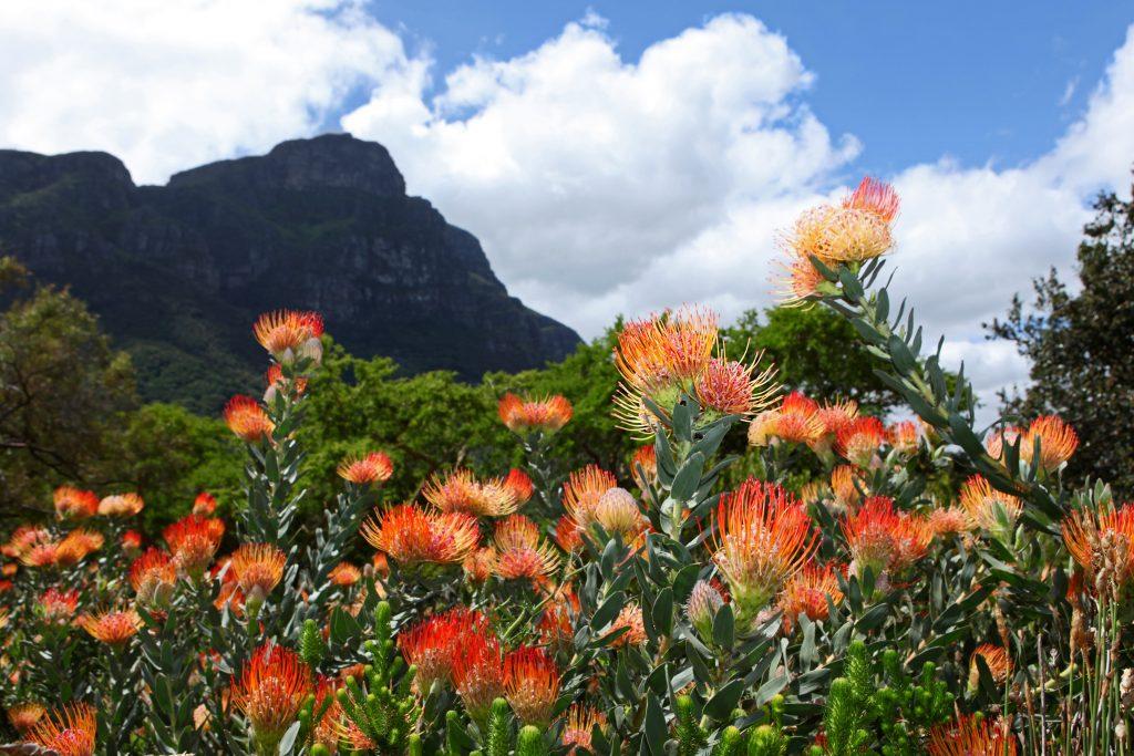 Kirstenbosch Botanical Gardens Protea Flowers