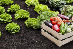 Raccolto orto maggio lavori