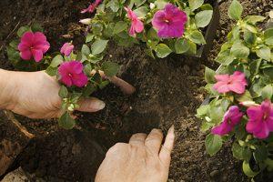 Come coltivare la balsamina nel tuo giardino fito for I fiori della balsamina
