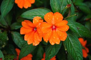 Fiore di balsamina arancione