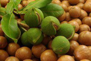 Come coltivare noci di macadamia