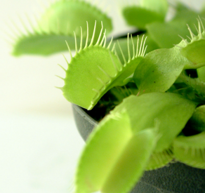 Come curare le piante carnivore