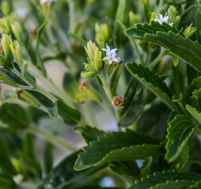 Stevia come coltivare