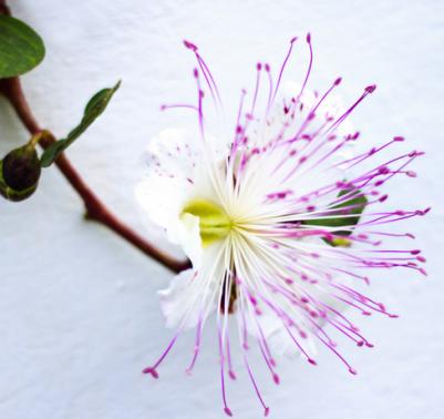Come coltivare i capperi fiore