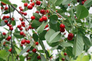 Frutta da raccogliere a giugno