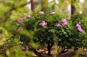 Peonia arbustiva coltivazione