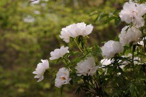 peonia coltivazione in vaso