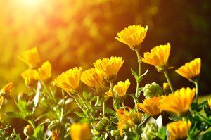 Come coltivare Calendula pianta contro le zanzare