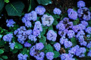 Come coltivare Agerato come pianta contro le zanzare