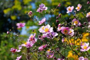 Anemone japonica fiori di settembre