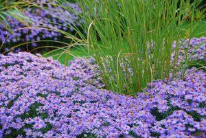 Aster fiori di settembre