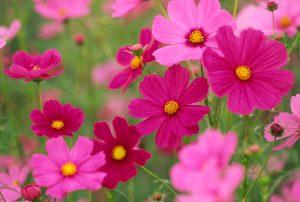 Cosmea fiori di settembre