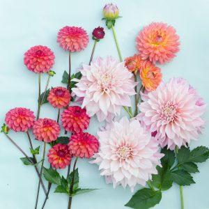 Dalia fiori di settembre
