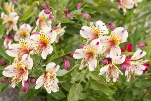 Alstroemeria fioritura autunnale