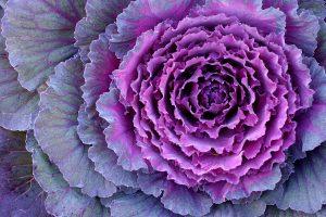 Cavolo ornamentale fioritura autunnale fiore autunnale