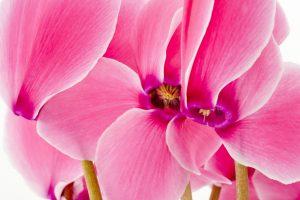 Ciclamino fioritura autunnale fiore autunnale