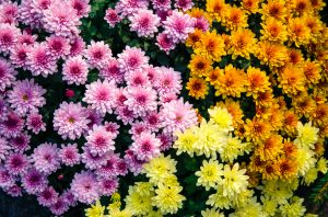 Crisantemo fioritura autunnale fiore autunnale