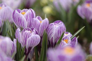 Croco fioritura autunnale fiore autunnale