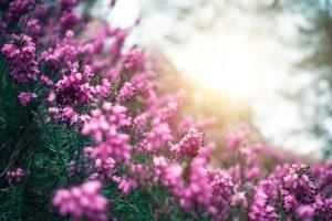 Erica fioritura autunnale fiore atunnale