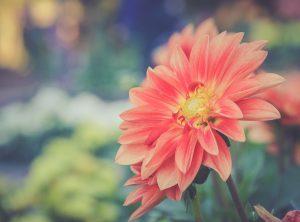 Dalia fiore autunnale fioritura autunnale