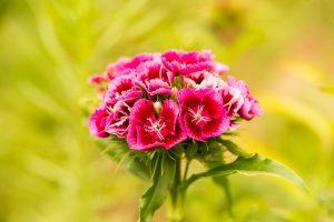 Coltivazione garofano fiore