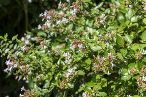Abelia pianta siepe photo