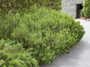 Aromatiche piante siepe photo