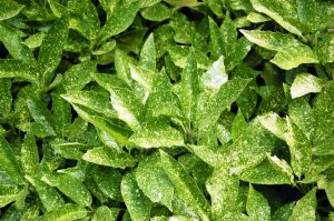 Aucuba siepe pianta photo