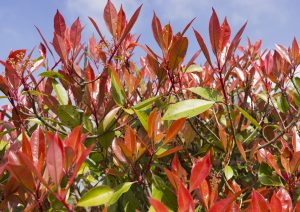 Photinia pianta siepe photo