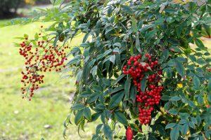 Nandina pianta sempreverde photo
