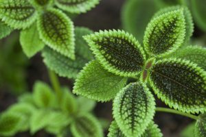 Pilea sempreverde photo