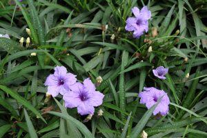 Ruellia pianta sempreverde
