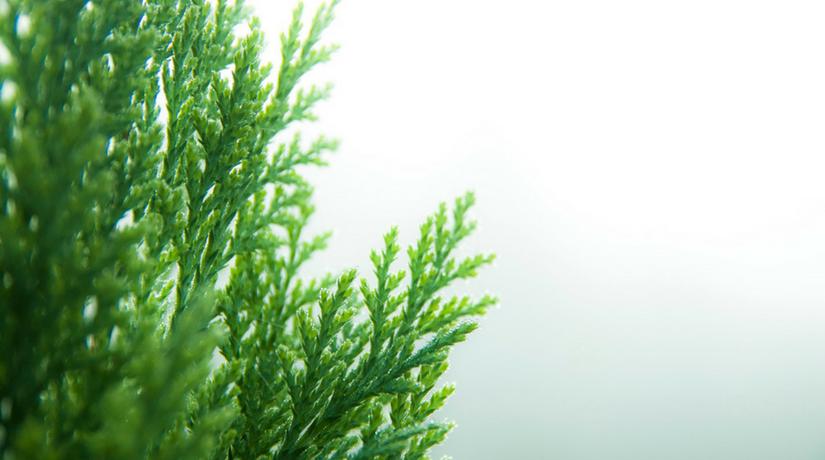 Le 10 piante sempreverdi da balcone fito for Donare un giardiniere