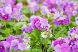 coltivazione Primula obonica photo
