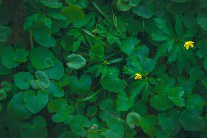 Asarum pianta da ombra
