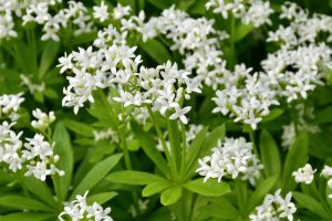 Galium odoratum pianta da ombra
