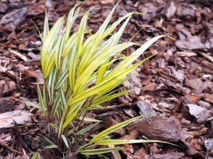 Hakonechloa macra Aureola pianta da ombra