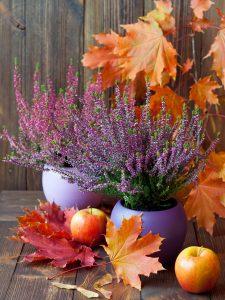 erica in vaso coltivazione
