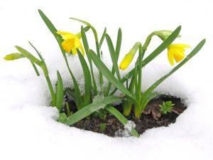 narciso fiore inverno