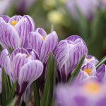 Croco fiore da piantare marzo