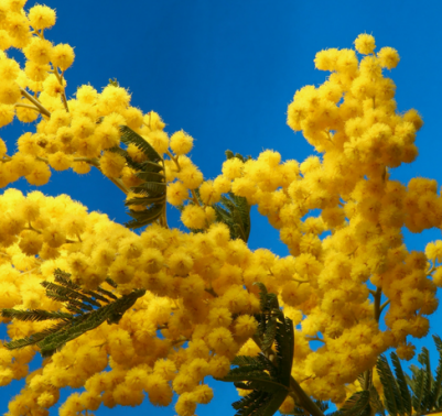 Coltivare mimosa in vaso