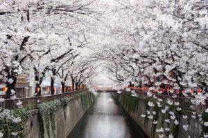 Fioritura ciliegi Giappone 2