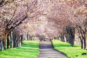 Fioritura ciliegi Giappone 3