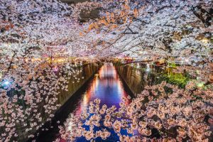 Fioritura ciliegi Giappone 6
