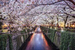 Fioritura ciliegi Giappone 7